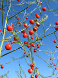 Piękna roślina szparagowi officinalis Fotografia Stock