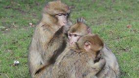 Piękna rodzina Młody małpa fornal i sztuka - Barbary makaki zdjęcie wideo