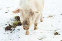 Piękna rolna świnia Zdjęcia Stock