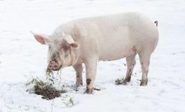 Piękna rolna świnia Zdjęcia Royalty Free