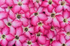 Piękna romantyczna czerwień kwitnie z waterdrops dla tła Obraz Stock