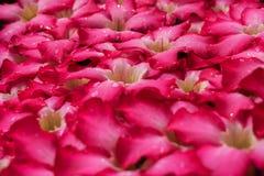 Piękna romantyczna czerwień kwitnie z waterdrops dla tła Obraz Royalty Free