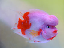 piękna ryba Obraz Royalty Free