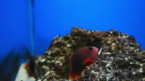Piękna ryba w akwarium na dekoraci nadwodnych rośliien tło zbiory wideo