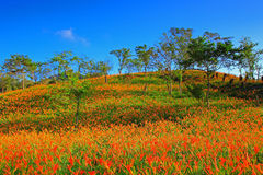 Piękna scena wschodni Tajwan w Pomarańczowym Daylily sezonie Zdjęcia Royalty Free