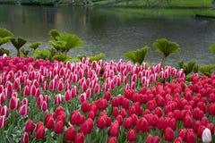 Piękna sceneria z różowymi tulipanami obraz royalty free