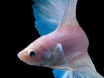 Piękna siamese bój ryba na czerni zdjęcia stock
