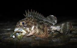 Piękna skorpion ryba łapiąca przy nocą Obrazy Royalty Free
