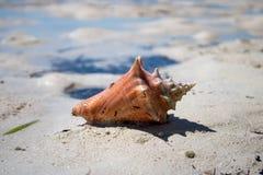 Piękna skorupa na tropikalnej piaskowatej plaży zdjęcie stock