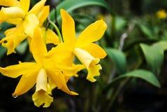 piękna storczykowy żółty Obrazy Stock