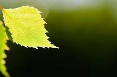 Piękna struktura w pojedynczym brzozy drzewa liściu Zdjęcia Stock