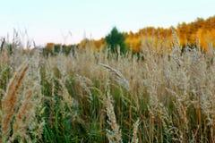 Piękna sucha trawa, jesień krajobraz na tle las i niebo, obrazy royalty free