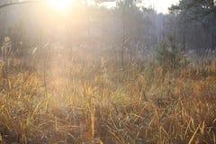 Piękna sucha trawa, sosnowy las, jesień krajobraz przeciw lasowemu tłu, backlight zdjęcie royalty free