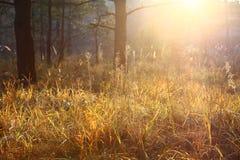 Piękna sucha trawa, sosnowy las, jesień krajobraz przeciw lasowemu tłu, backlight zdjęcia stock