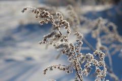 Piękna suchej trawy gałąź zakrywająca z bielu mrozem w śniegu błyska w słońcu podczas zimy obraz royalty free