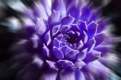 Piękna sukulent zieleń Toczy Wewnątrz Ciemne purpury Z zoomu wybuchem fotografia stock