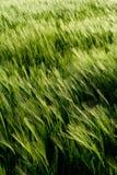 piękna szczegółów pola pszenicy Obraz Royalty Free
