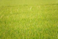 Piękna tło z Zielonym ryżu polem w Thailand obraz stock