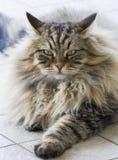 Piękna tabbt męski brown kot siberian traken Fotografia Royalty Free