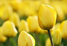piękna tulipanowy żółty Zdjęcie Royalty Free