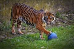 Piękna Tygrysia sztuka z piłką obraz royalty free