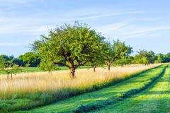 Piękna typowa speierling jabłoń w łące dla niemiec Zdjęcie Royalty Free