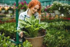 Piękna uśmiechnięta kwiaciarnia w fartuchu pracuje z kwiatami Młoda rudzielec damy pozycja z dużym kwiatem w rękach obraz royalty free