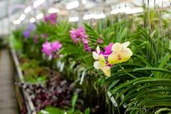 piękna ' Vanda lub Vanda coerulea Griff Różnorodny kwiatu zakończenie up od bukieta Obraz Royalty Free