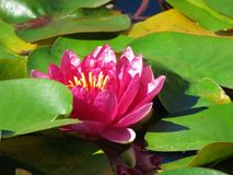 piękna waterlily fotografia stock