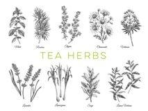 Piękna wektorowa ręka rysować herbaciane ziele ilustracje ilustracji