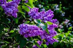 Piękna wiązka kwiatu bez kwitnie z niektóre zielonymi liśćmi Bez kwitnie w ogródzie Zdjęcia Stock