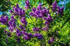 Piękna wiązka kwiatu bez kwitnie z niektóre zielonymi liśćmi Bez kwitnie w ogródzie Obrazy Stock