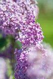 Piękna wiązka lily zbliżenie Fotografia Stock