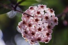 Piękna wiązka różowi Gonuke kwiaty Zdjęcia Stock