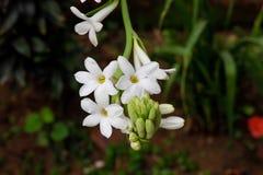 Piękna wiązka zakrywająca z zielenią tuberose kwiat opuszcza tło obrazy stock