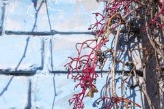 Piękna więdnąca gałąź dzicy winogrona Obraz Stock