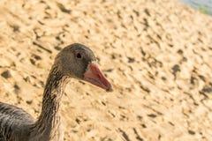 Piękna, wielka szara gąska w otwartym parku, spacerach wzdłuż piaska i żarciach karmowych i, Domowy i miły ptak, dowcip zdjęcia stock