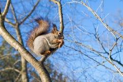 Piękna wiewiórka Zdjęcie Stock