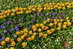 Piękna wiosna, barwiący tulipany zasadzający w miasto parku obraz stock