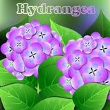 Piękna wiosna kwitnie hortensi karty lub twój projekt z przestrzenią dla teksta wektor Zdjęcia Stock