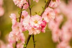 piękna wiosna kwitnie na gałąź Zdjęcia Stock