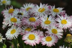 Piękna wiosna Nawet kwiat Nabierający Bułgaria 2019 Pięknych Rupes fotografia royalty free