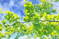 Piękna wiosna opuszcza tło fotografia stock