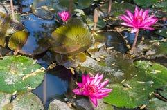 piękna wody lilly zdjęcie stock