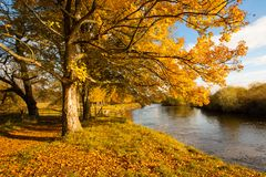 Piękna, złota jesieni sceneria z drzewami, i złoci liście w świetle słonecznym w Szkocja obraz stock