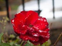 Piękna zadziwiająca i różna czerwieni róża z kropli pf wodami przy colonia tovar grodzkim Wenezuela obrazy royalty free