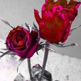 piękna zamkniętych kwiatów naturalne menchie wzrastali naturalny Zdjęcia Royalty Free