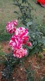 piękna zamkniętych kwiatów naturalne menchie wzrastali naturalny Obrazy Royalty Free