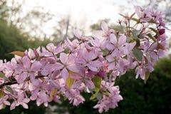 Piękna zbliżenie wiosna kwitnie jabłoni Zdjęcia Royalty Free