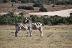 Piękna zebry para na łące w Południowa Afryka Obraz Stock